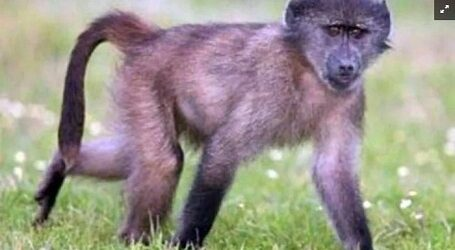 Futuras vacunas en el mundo dependen del suministro de monos de laboratorio