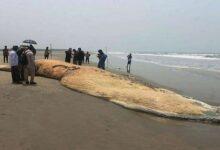 ¿Qué causó su muerte? Hallan enormes cuerpos de ballenas en la playa