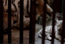 ¡Inédito! Nacen cuatro tigres de bengala en zoológico de Cuba, uno de ellos blanco