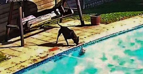 Perrita salva a su amigo de morir ahogado en una alberca; así fue su hazaña: VIDEO